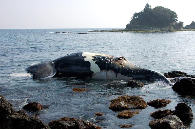 20110206セミクジラa-1